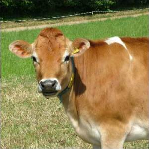 jersey_cow_350x350